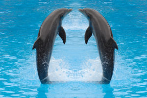 bigstock-dolphin-twins-are-jumping-in-t-28388735
